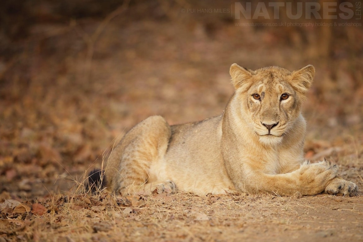 2020 - India's Asiatic Lions of Gir Photography Holiday 2