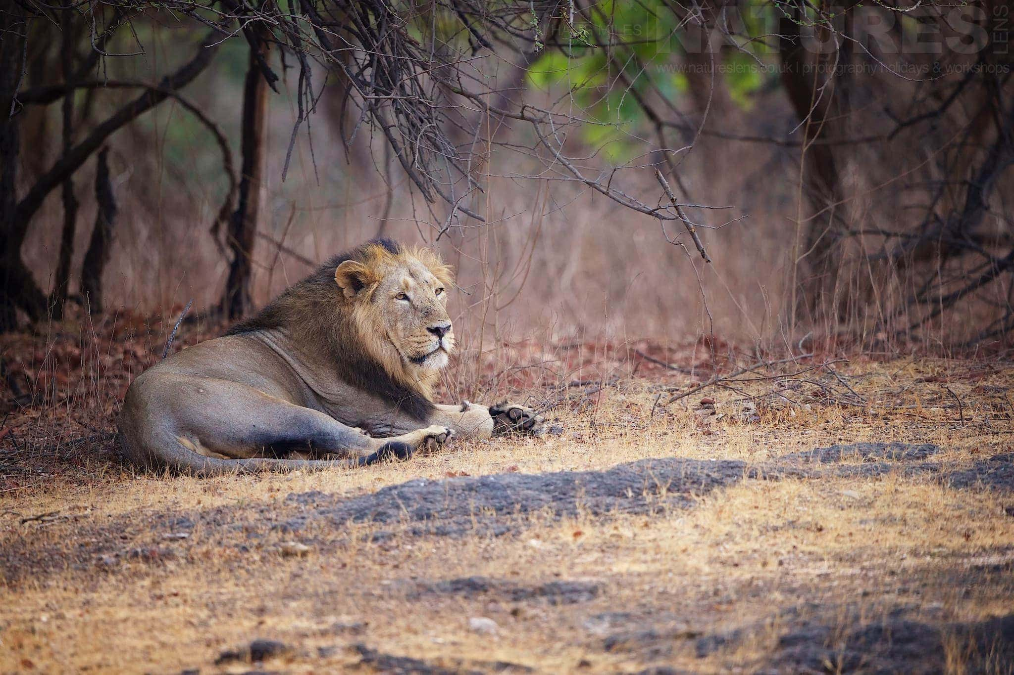 Male lion resting in the forest as captured during the Lions of Gir photography tour as led by NaturesLens