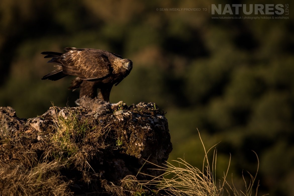 One Of The Golden Eagles Of The Sierra Morena Region Of Spain Image Captured During The NaturesLens Golden Eagles & Raptors Of Spain Photography Holiday