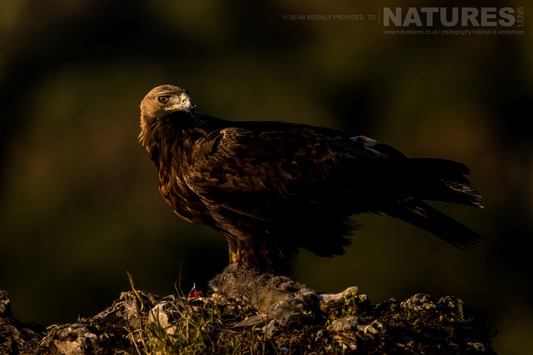 One Of The Golden Eagles Of The Area Around Adamuz In Spain   Image Captured During The NaturesLens Golden Eagles & Raptors Of Spain Photography Holiday