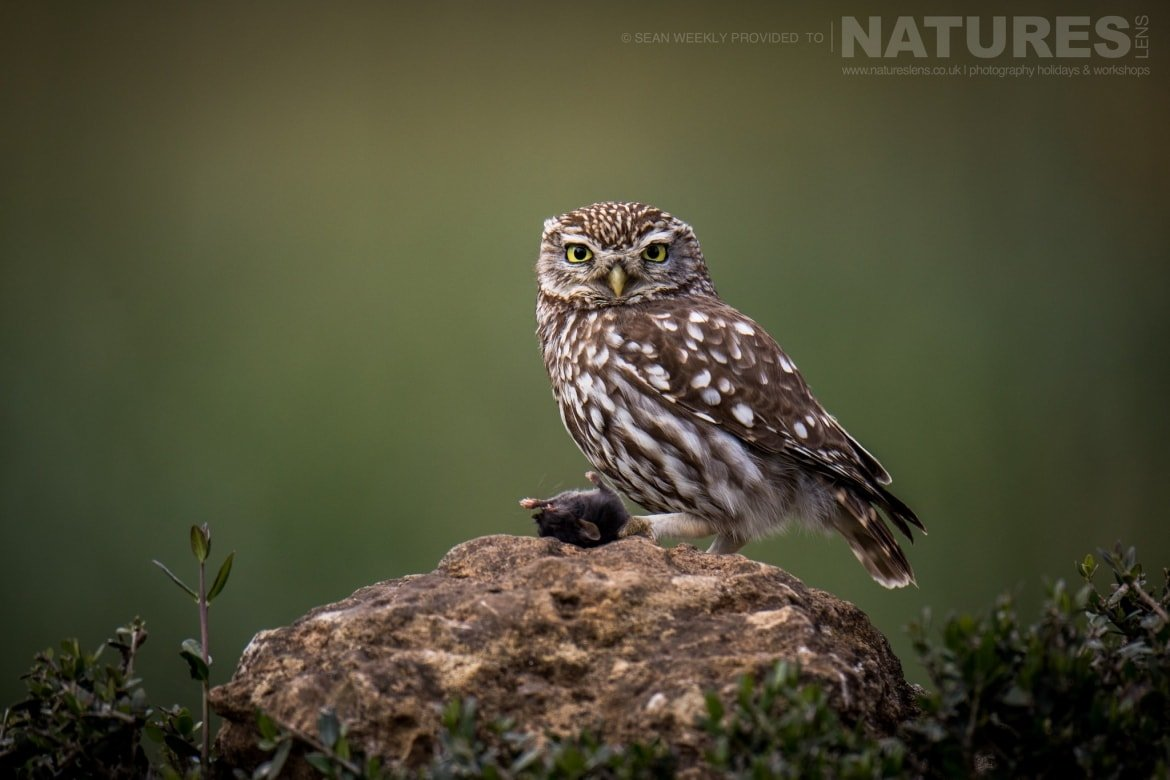 One Of The Little Owls Of Adamuz In Spain   Image Captured During The NaturesLens Golden Eagles & Raptors Of Spain Photography Holiday