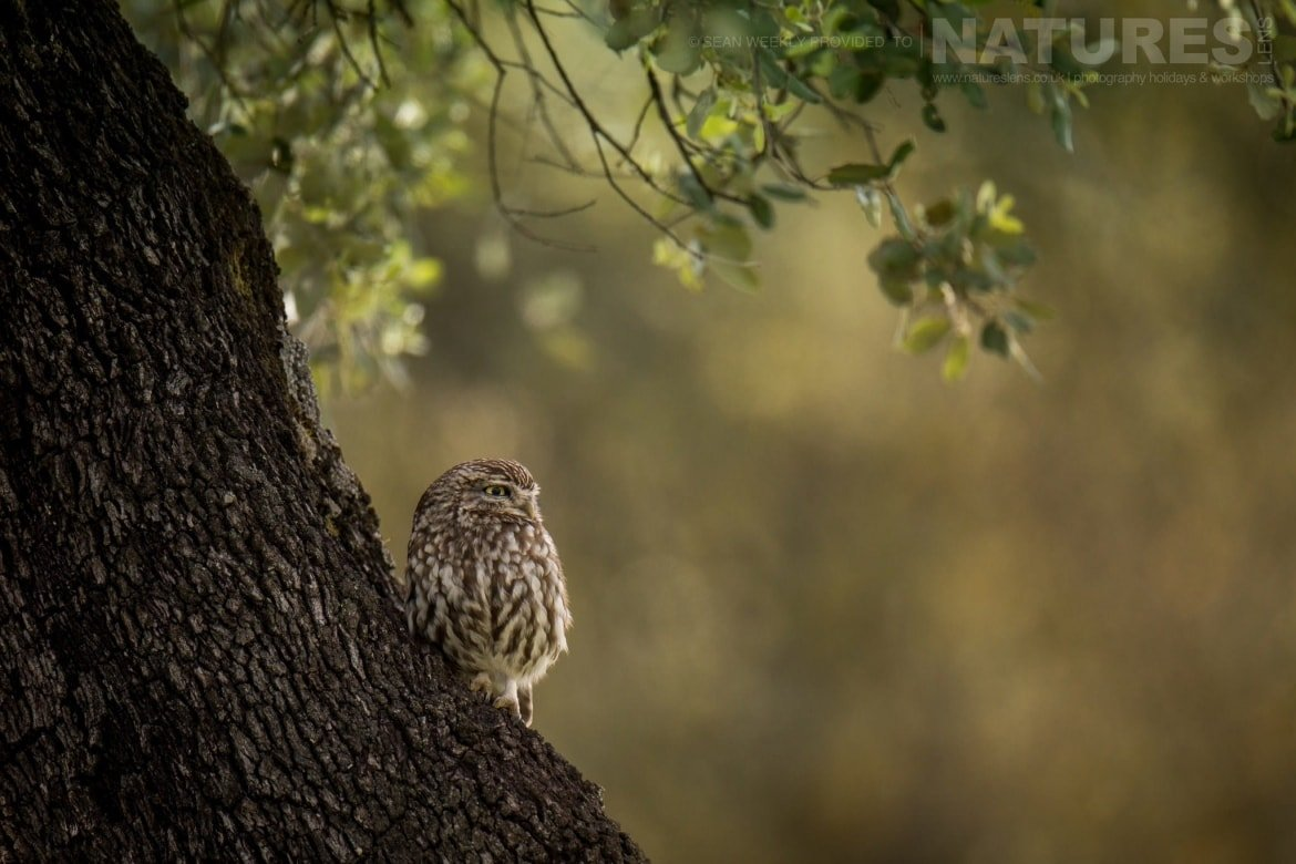 One Of The Little Owls Of Adamuz In Spain Perched In One Of The Trees In A Grove   Image Captured During The NaturesLens Golden Eagles & Raptors Of Spain Photography Holiday