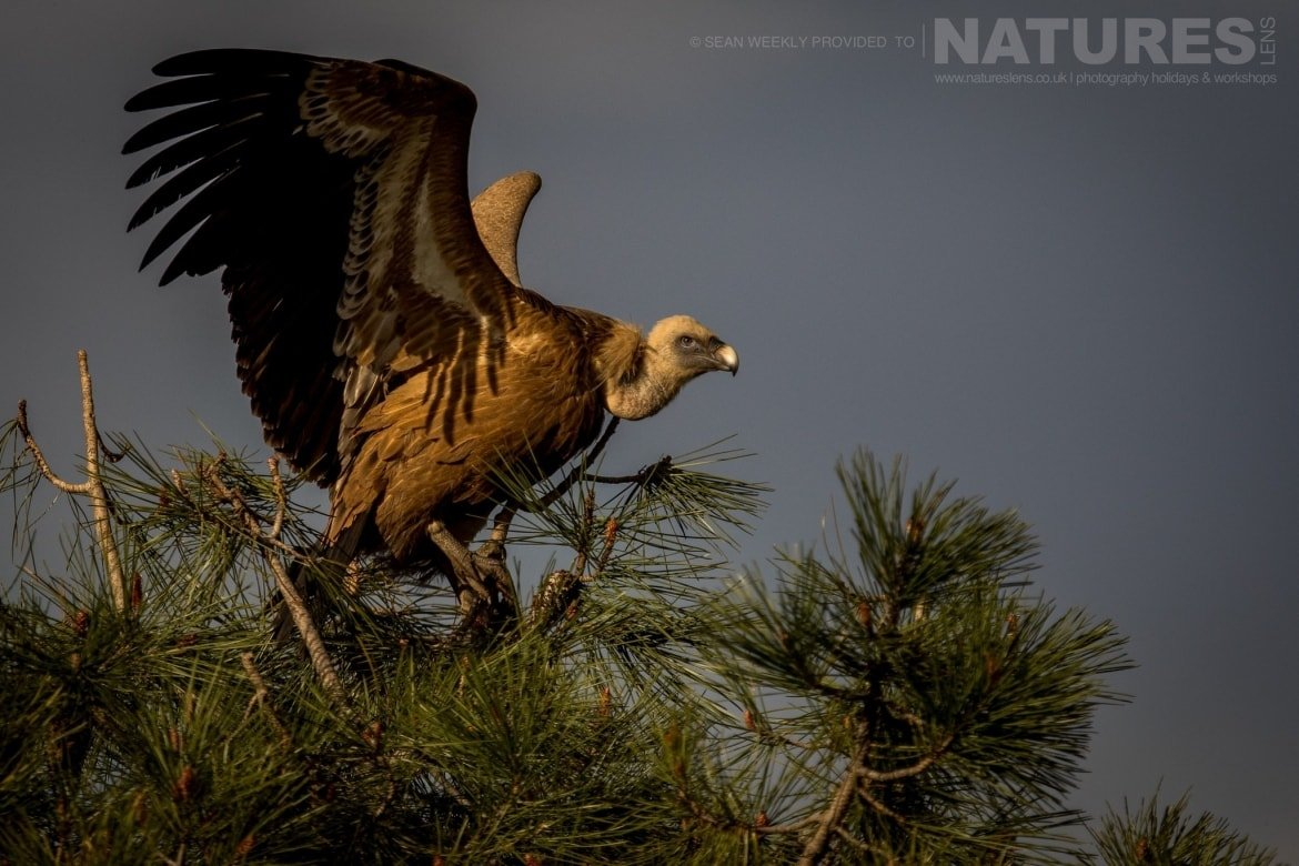 One Of The Vultures Prepares To Take Flight From A Tree In The Sierra Morena Region Of Spain   Image Captured During The NaturesLens Golden Eagles & Raptors Of Spain Photography Holiday