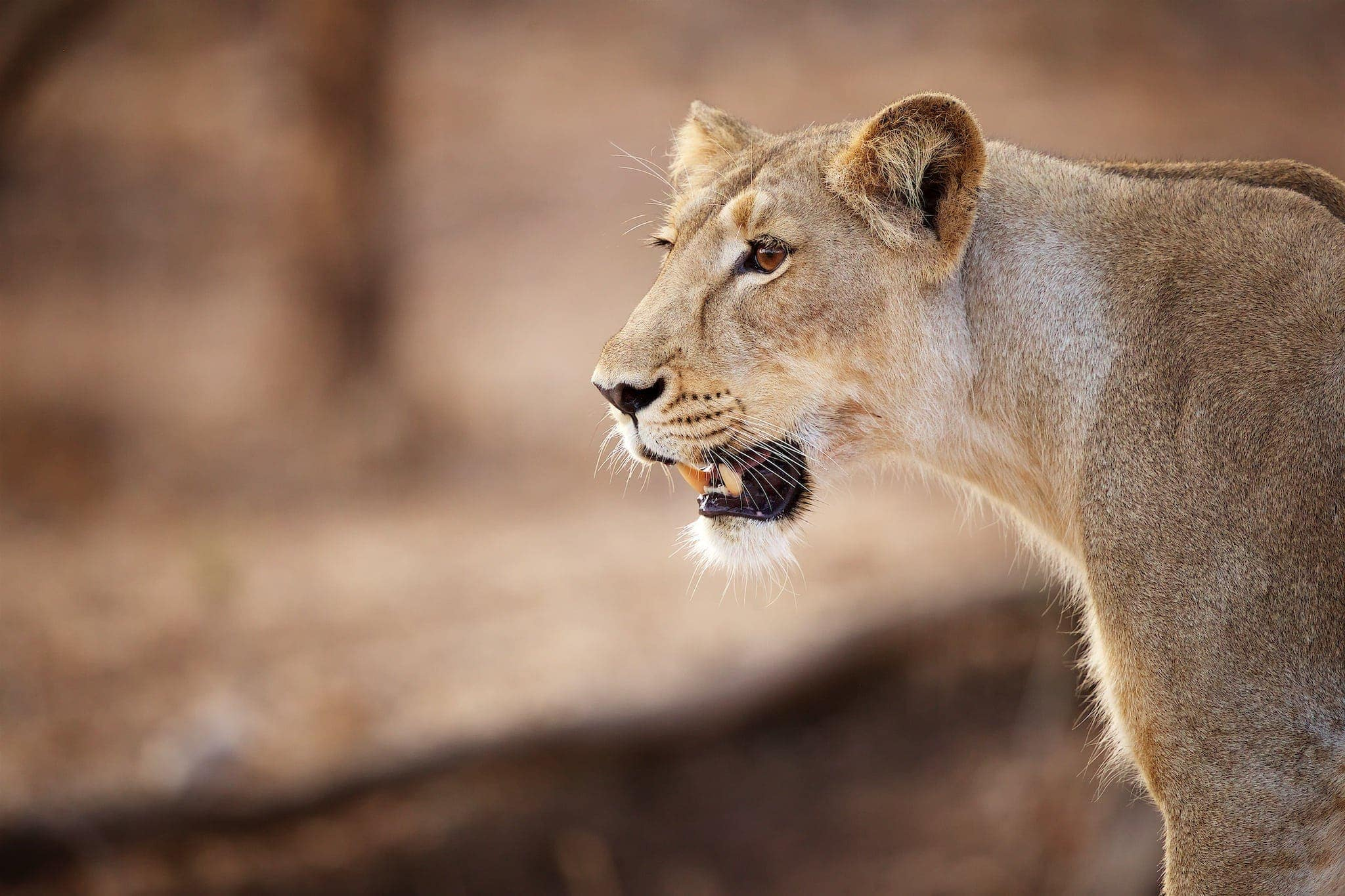 2020 - India's Asiatic Lions of Gir Photography Holiday 1