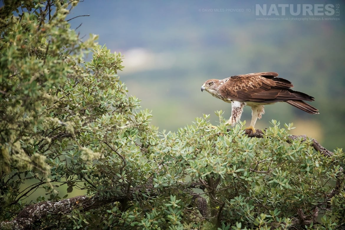 A Bonelli's Eagles Perched In A Tree With The Estate Behind Photographed On The Estate Used For The NaturesLens Eagles Of Extremadura Photography Holiday