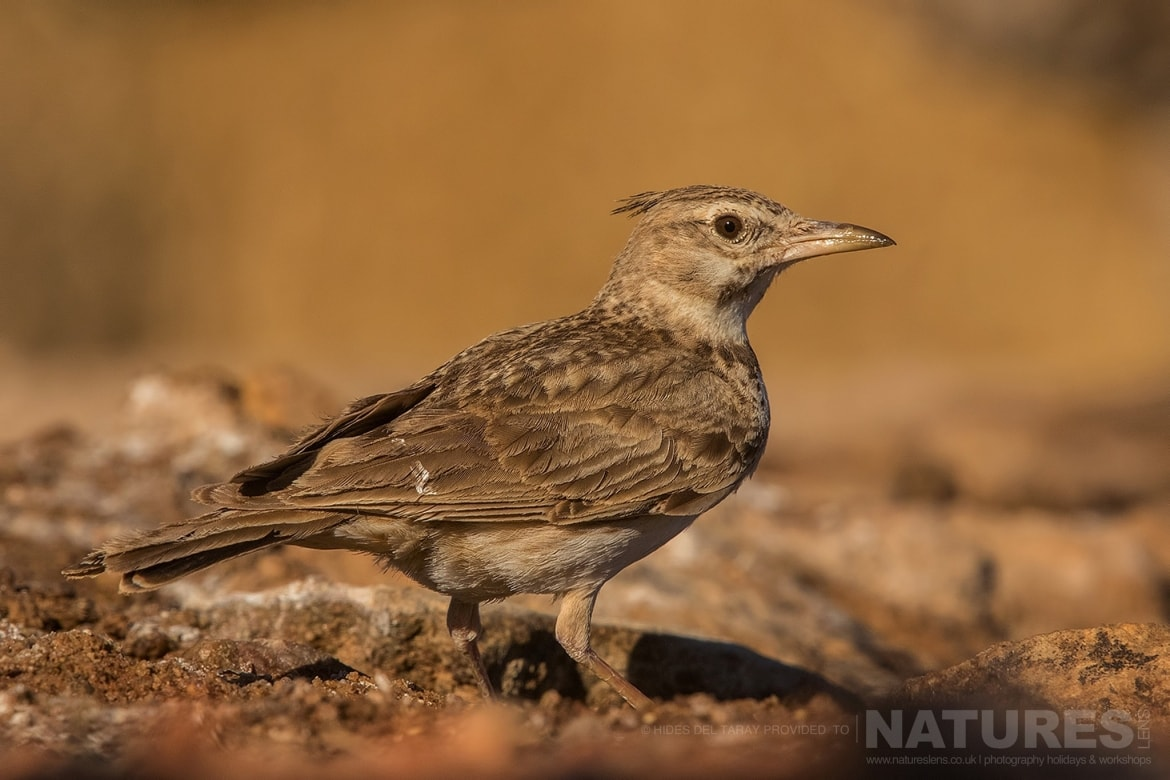 A Calandra Lark On The Ground Outside One Of The Sunken Hides   Photographed On The Estate Used For The NaturesLens Spanish Birds Of Toledo Photography Holiday