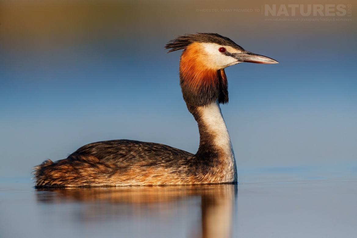 A Great Crested Grebe Floats Gently On The Still Waters Of Laguna Del Taray