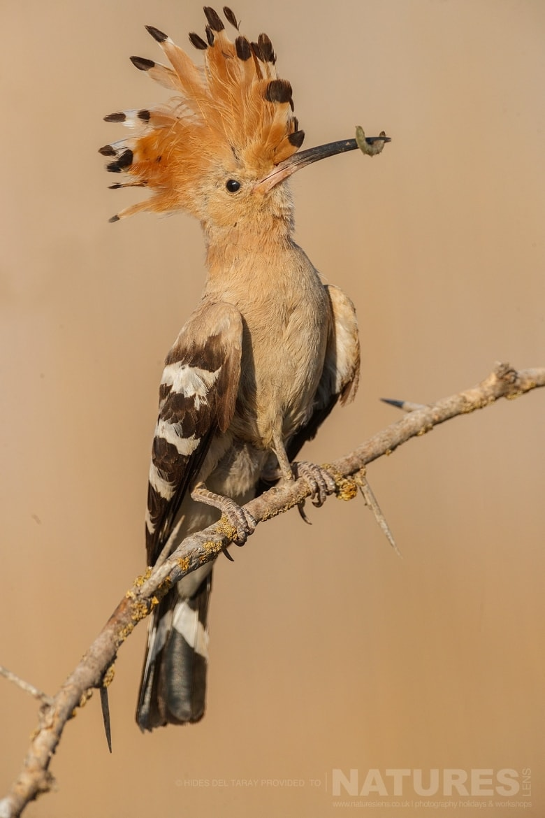 A Hoopoe Returning To The Nest Site With A Fresh Caught Grub   Photographed On The Estate Used For The NaturesLens Spanish Birds Of Toledo Photography Holiday
