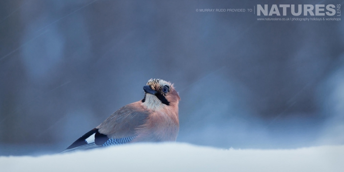 A Jay Looks Around Twhilst Around The Snow Falls   Image Captured During The NaturesLens Golden Eagles Of The Swedish Winter Photography Holiday