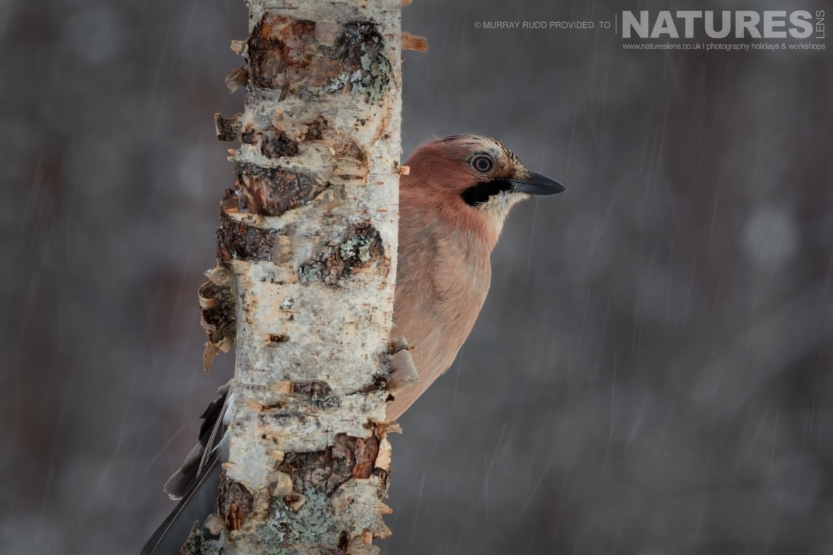 A Jay Perches On A Branch Whilst Around The Snow Falls   Image Captured During The NaturesLens Golden Eagles Of The Swedish Winter Photography Holiday