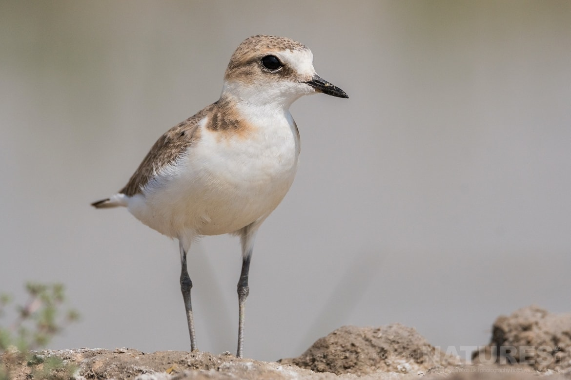 A Kentish Plover Having Just Emerged From The Shallows Of The Laguna   Photographed On The Estate Used For The NaturesLens Spanish Birds Of Toledo Photography Holiday