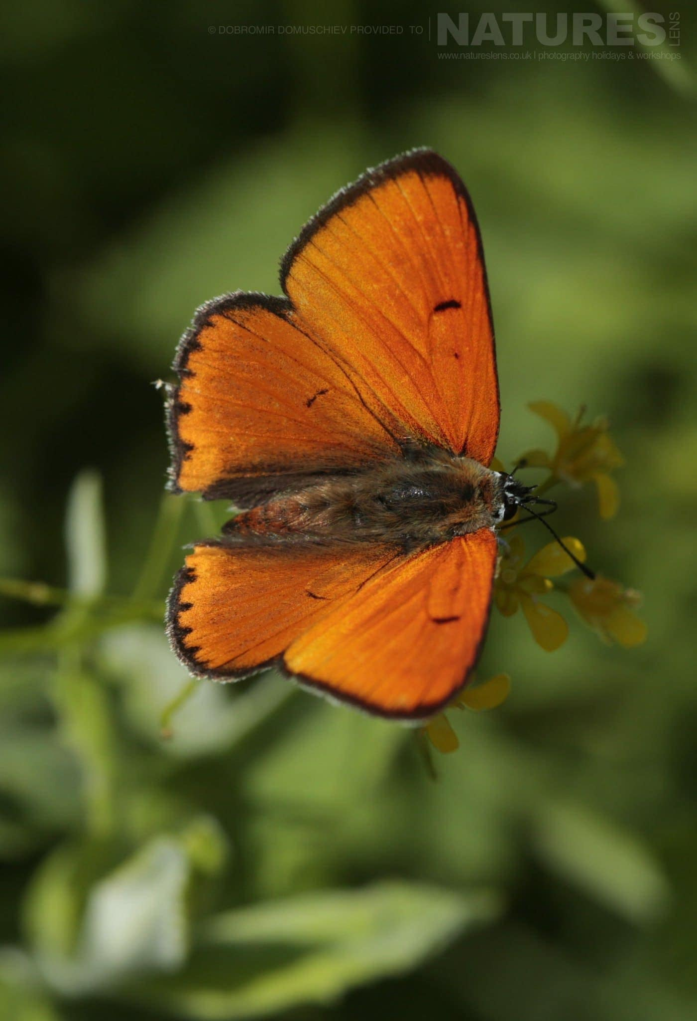 A Large Copper Butterfly Photographed On A Photography Holiday To The Same Regions As The NaturesLens Butterflies & Macro Photography Of Bulgaria Photography Holiday