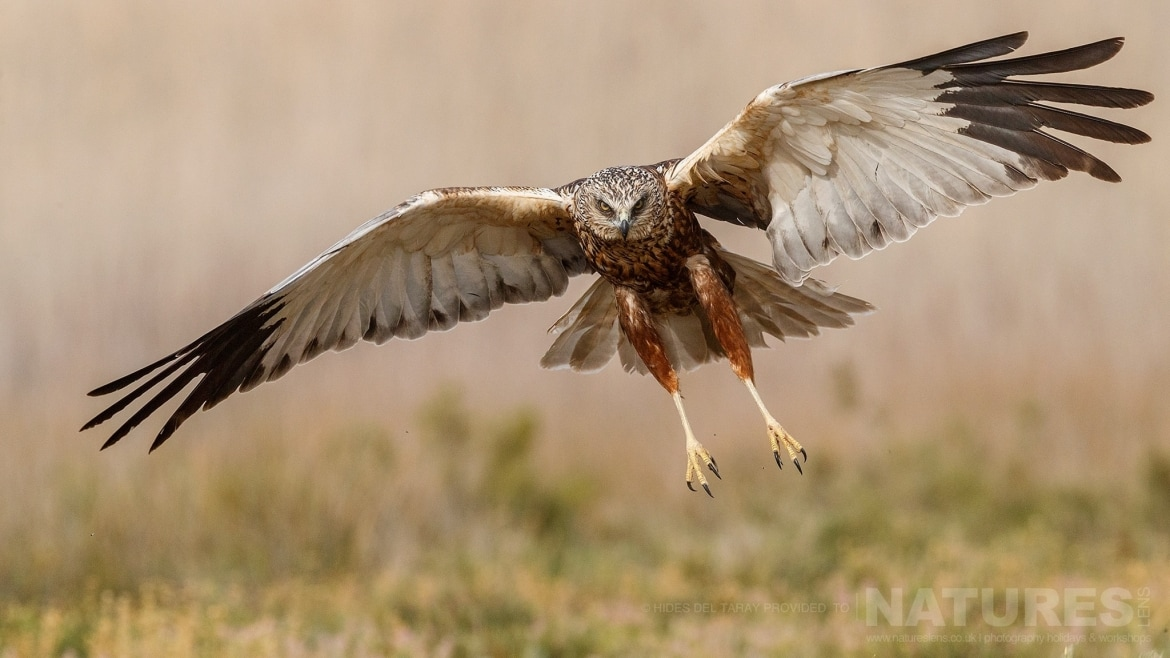 A Marsh Harrier Comes In To Land In Front Of One Of The Hides   Photographed On The Estate Used For The NaturesLens Spanish Birds Of Toledo Photography Holiday