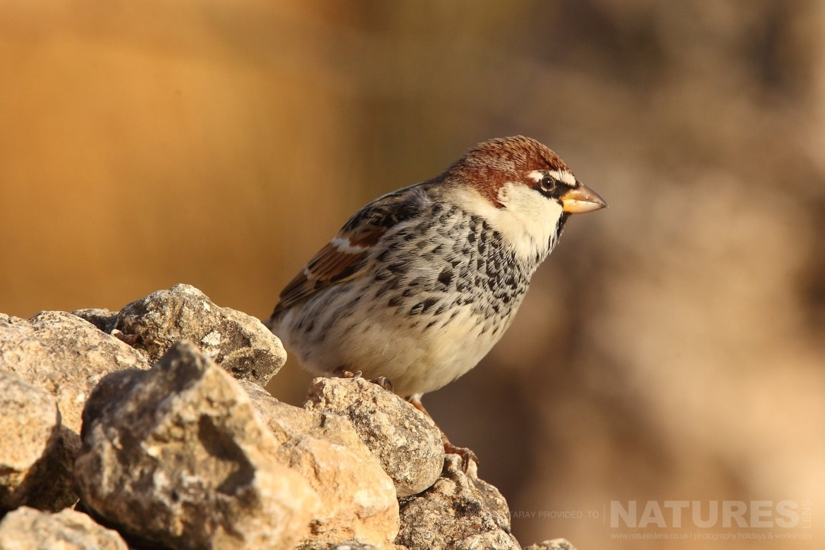 A Spanish Sparrow Perched On A Rocky Outcrop   Photographed On The Estate Used For The NaturesLens Spanish Birds Of Toledo Photography Holiday