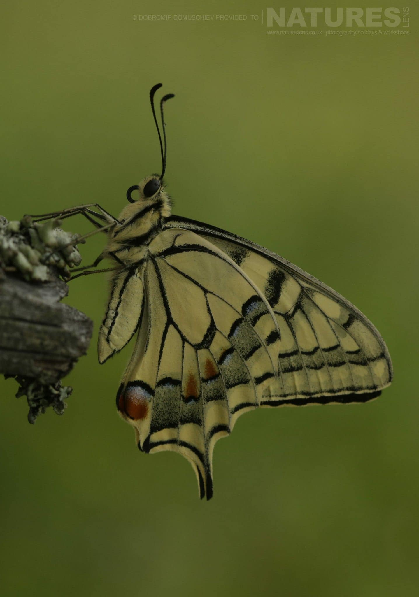A Swallowtail Butterfly Photographed On A Photography Holiday To The Same Regions As The NaturesLens Butterflies & Macro Photography Of Bulgaria Photography Holiday
