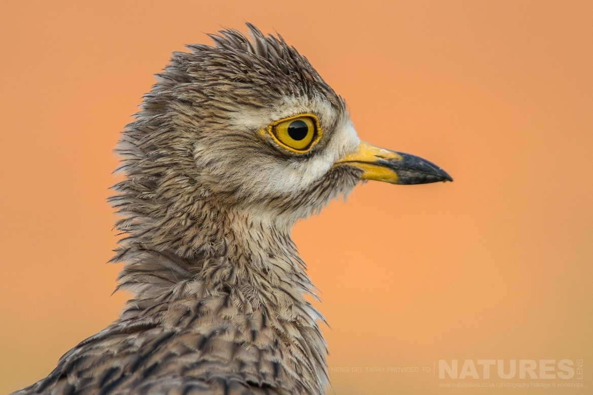 A Close Up Of A Juvenile Stone Curlew   Photographed On The Laguna Del Taray Estate Used For The NaturesLens Spanish Birds Of Toledo Photography Holiday