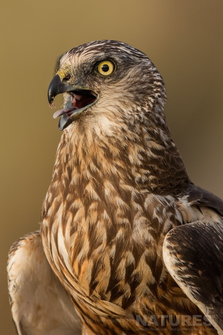 A Close Up Of One Of The Harriers Photographed On The Laguna Del Taray Estate Used For The NaturesLens Spanish Birds Of Toledo Photography Holiday