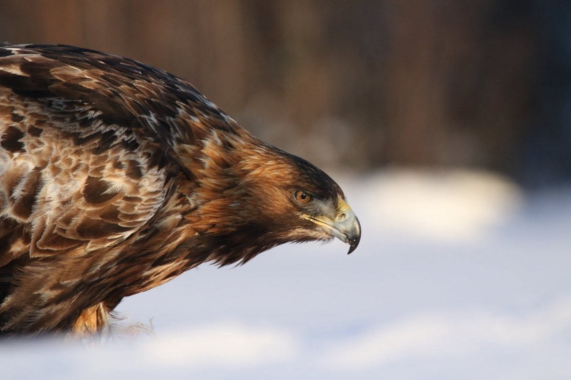 A Close Up Of One Of The Golden Eagles Feeding In The Snow Image Captured During The NaturesLens Golden Eagles Of Swedish Winter Photography Holiday