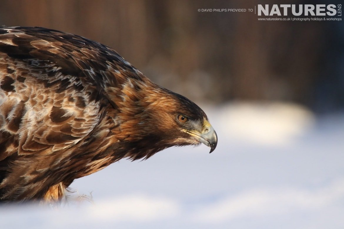 A Close Up Of One Of The Golden Eagles Feeding In The Snow   Image Captured During The NaturesLens Golden Eagles Of The Swedish Winter Photography Holiday