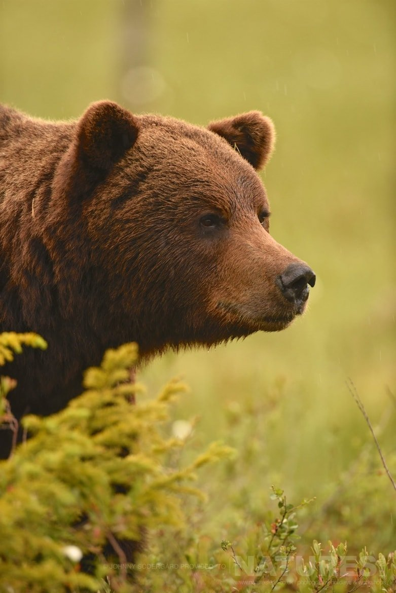 A Close Up Of One Of The Large Bears   Photographed By Johnny Södergård During The NaturesLens Wild Brown Bears Of Finland Photography Holiday