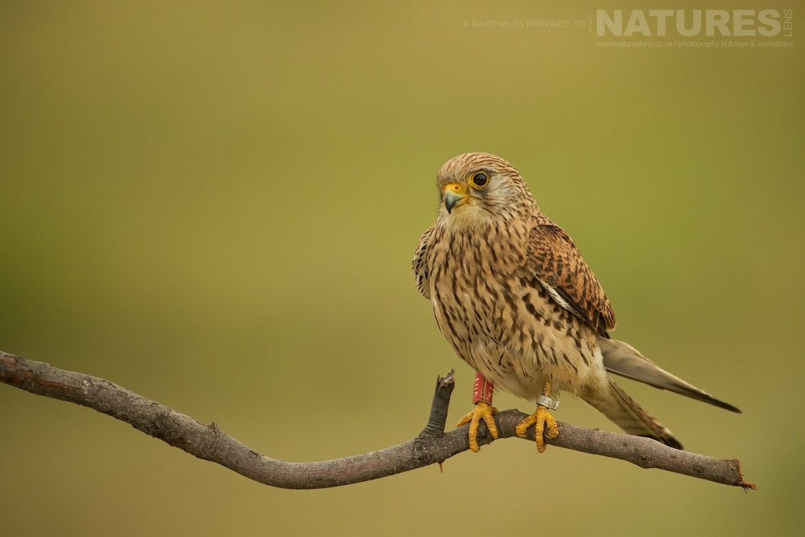 A Female Lesser Kestrel Outside The Dedicated Tower Hide Photographed On The Estate Used For The NaturesLens Eagles Of Extremadura Photography Holiday