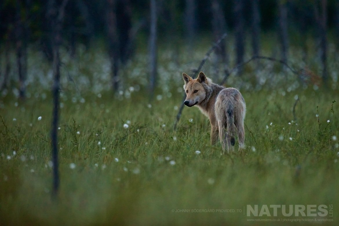 A Finnish Wolf   A Rare Visitor To The Hides   Photographed By Johnny Södergård During The NaturesLens Wild Brown Bears Of Finland Photography Holiday