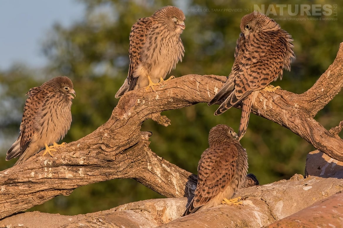 A Group Of Lesser Kestrel Chicks Photographed On The Estate Used For The NaturesLens Spanish Birds Of Toledo Photography Holiday