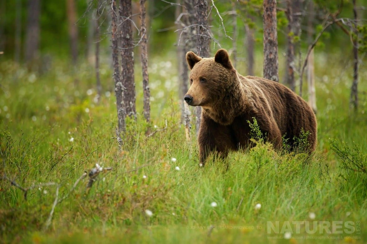 A Large Wild Brown Bear Emerges From The Russian Forests   Photographed By Johnny Södergård During The NaturesLens Wild Brown Bears Of Finland Photography Holiday