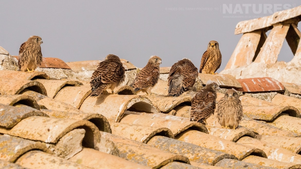 A Number Of Lesser Kestrels Gathered On The Rooftop   Photographed On The Estate Used For The NaturesLens Spanish Birds Of Toledo Photography Holiday