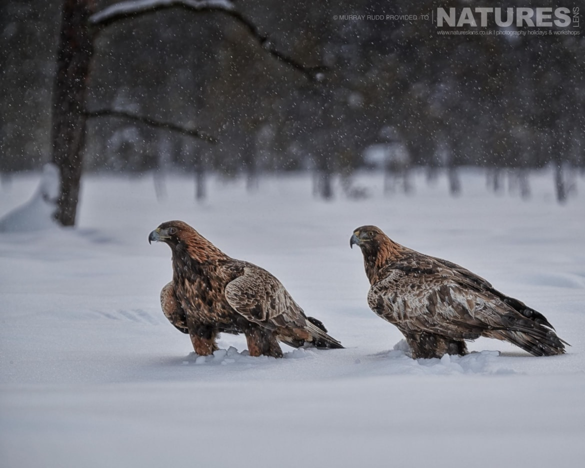 A Pair Of Golden Eagles In The Snow   Image Captured During The NaturesLens Golden Eagles Of The Swedish Winter Photography Holiday