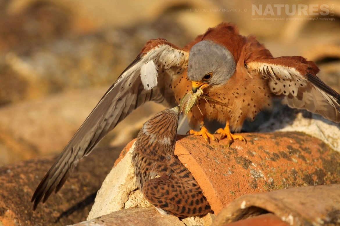 A Pair Of Lesser Kestrels Feeding   Photographed On The Estate Used For The NaturesLens Spanish Birds Of Toledo Photography Holiday