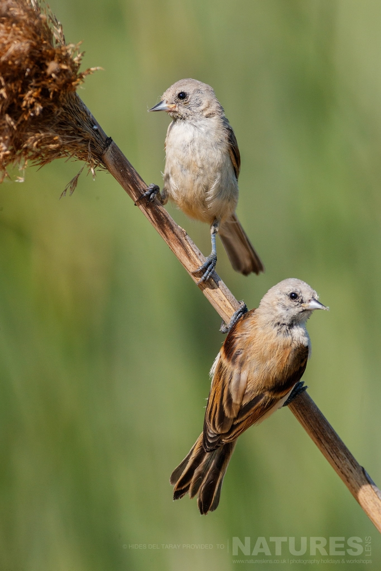 A Pair Of Penduline Tits   Photographed On The Estate Used For The NaturesLens Spanish Birds Of Toledo Photography Holiday