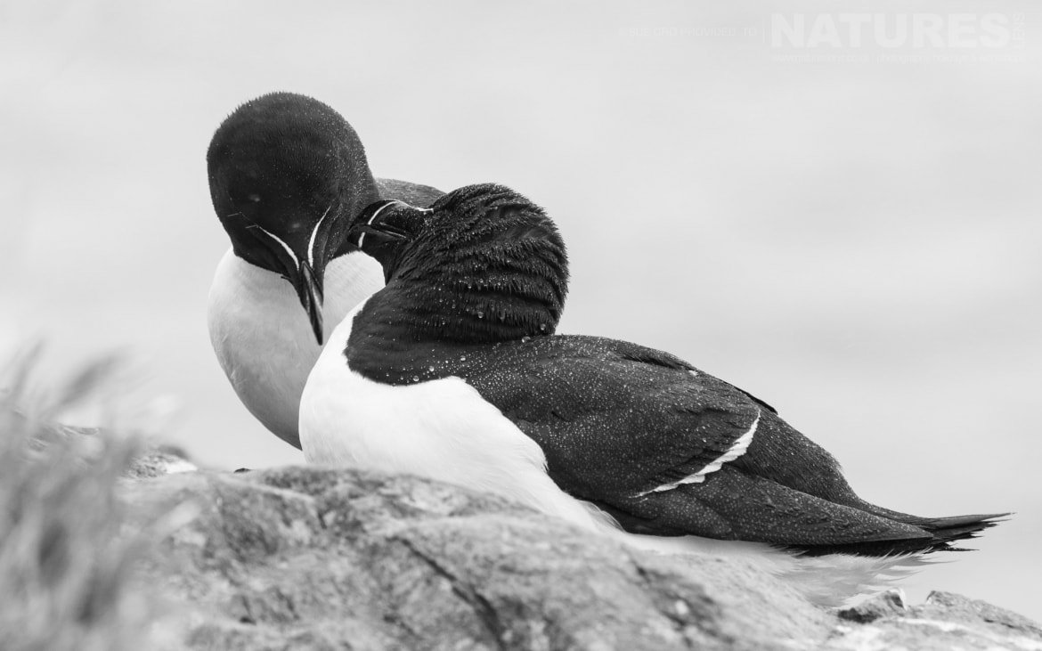 A Pair Of Skomer's Razorbills Photographed During The NaturesLens Atlantic Puffins Of Skomer Photography Holiday