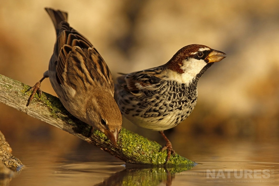 A Pair Of Spanish Sparrows On The Edge Of One Of The Many Drinking Pools   Photographed On The Estate Used For The NaturesLens Spanish Birds Of Toledo Photography Holiday