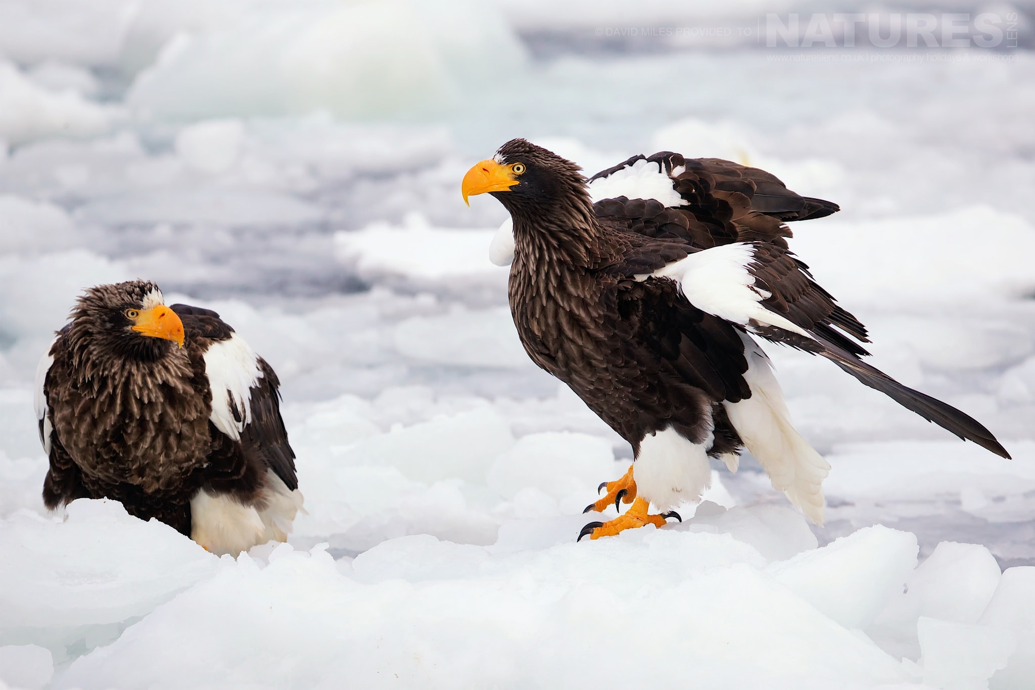 A Pair Of Steller's Sea Eagle Perched On The Drift Ice Outside Rausu   Photographed During The Winter Wildlife Of Japan Photography Holiday
