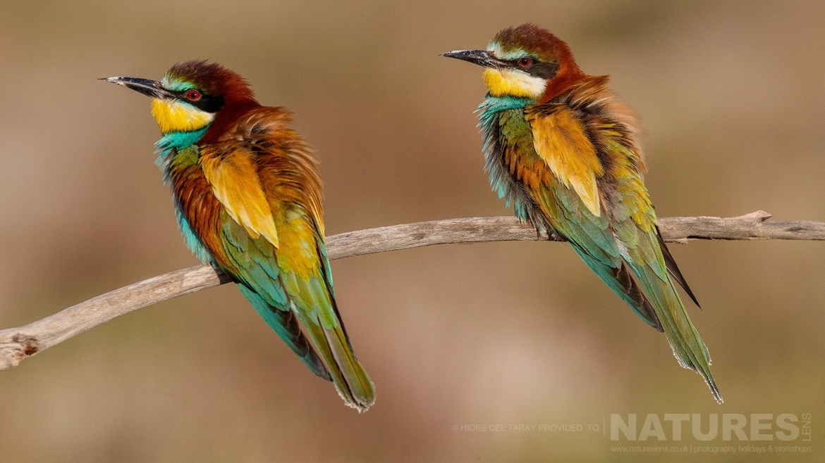 A Pair Of Bee Eaters Perched On A Branch Photographed On The Estate Used For The NaturesLens Spanish Birds Of Toledo Photography Holiday