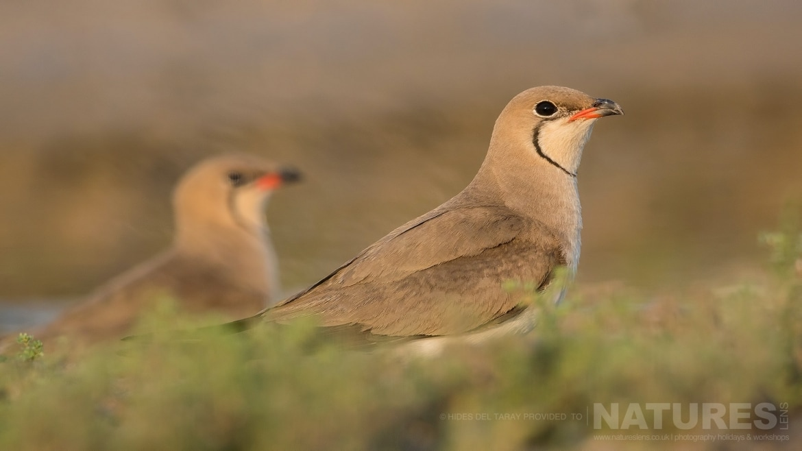 A Pair Of Collared Pranticole Photographed On The Estate Used For The NaturesLens Spanish Birds Of Toledo Photography Holiday