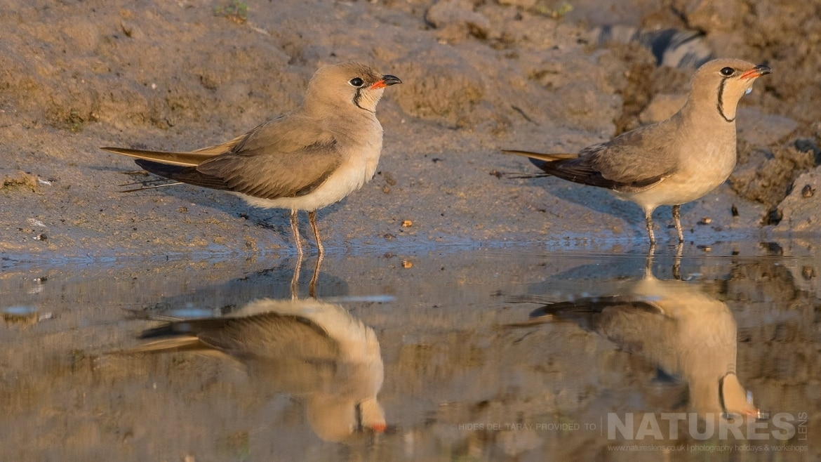 A Pair Of Collared Pranticole Reflected In The Still Water Of A Pool Photographed On The Estate Used For The NaturesLens Spanish Birds Of Toledo Photography Holiday