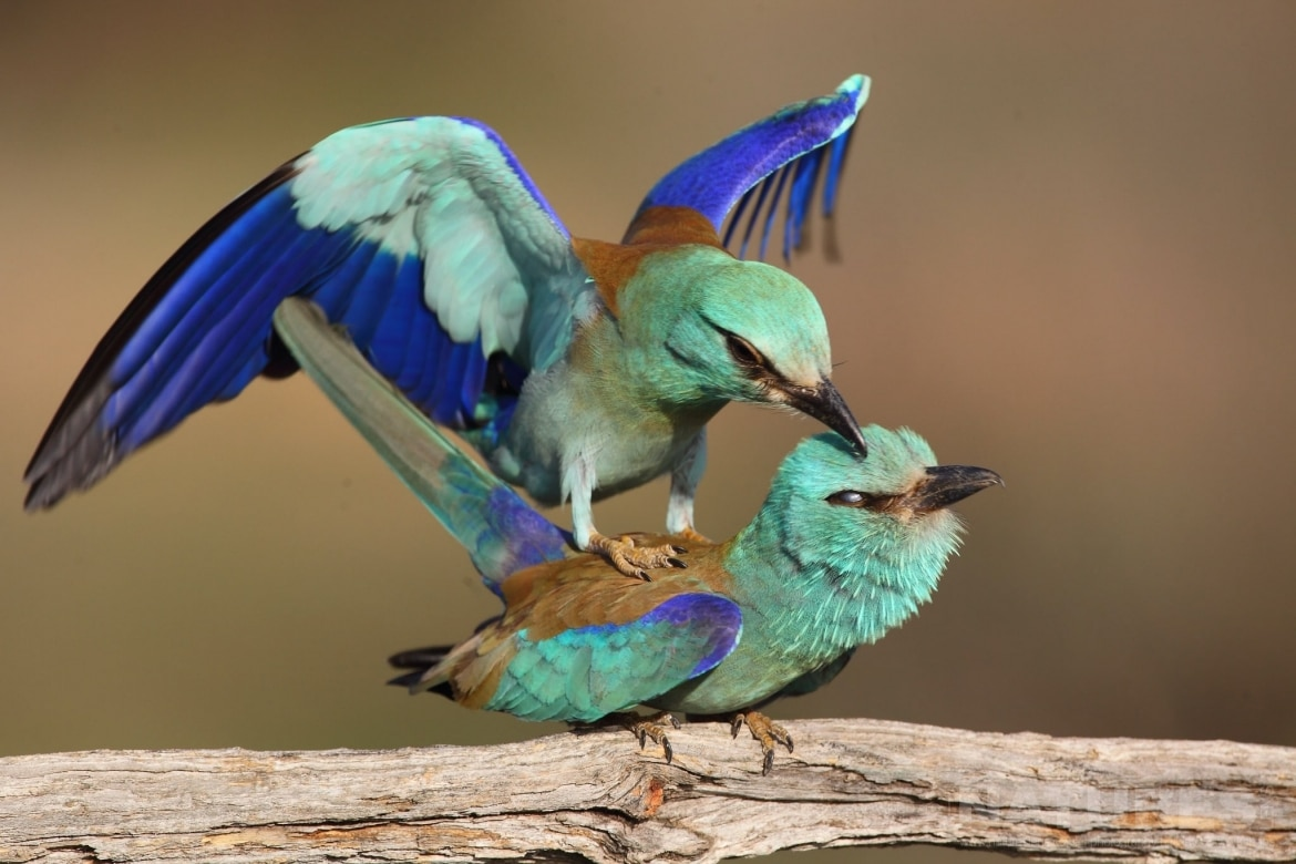 A Pair Of Mating European Roller Photographed On The Laguna Del Taray Estate Used For The NaturesLens Spanish Birds Of Toledo Photography Holiday