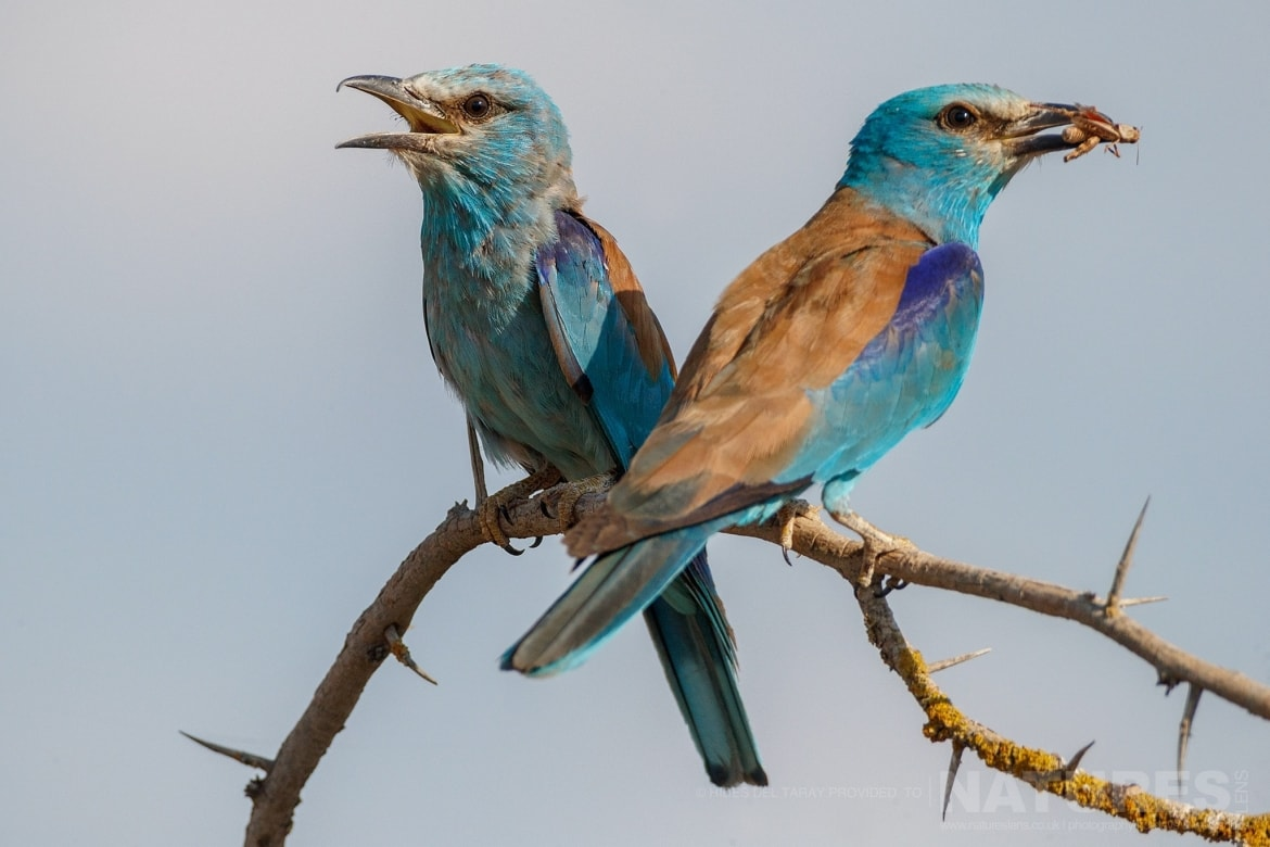 A Pair Of Perched European Rollers Photographed On The Laguna Del Taray Estate Used For The NaturesLens Spanish Birds Of Toledo Photography Holiday