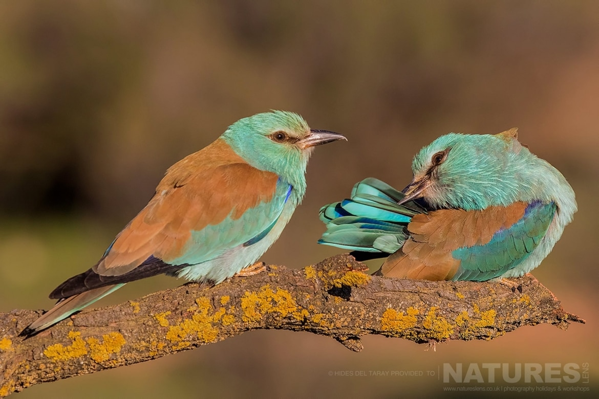A Pair Of Rollers Perched On A Branch   Photographed On The Estate Used For The NaturesLens Spanish Birds Of Toledo Photography Holiday