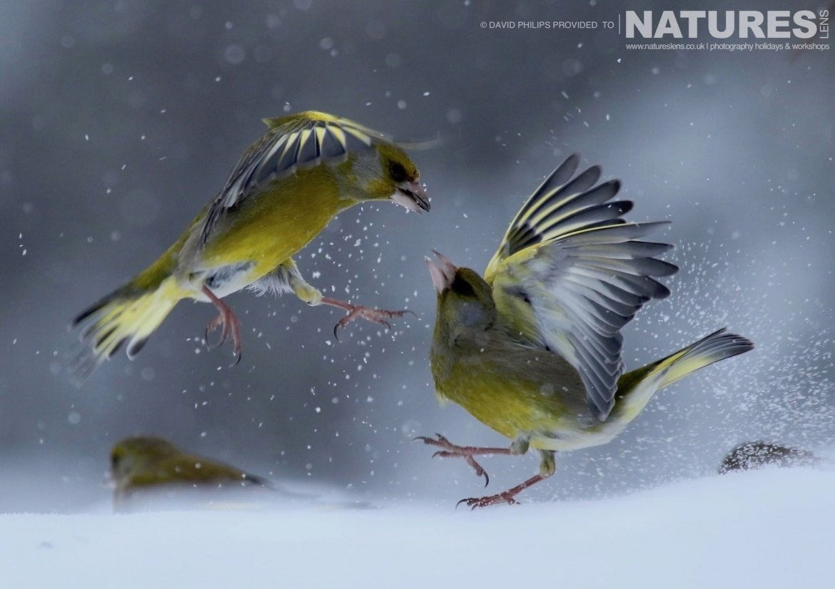 A Pair Of Siskins Squabble In The Snow Image Captured During The NaturesLens Golden Eagles Of The Swedish Winter Photography Holiday