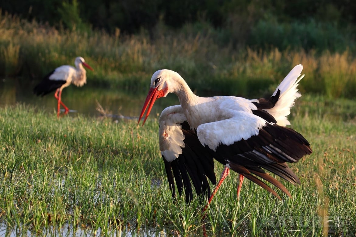 A Pair Of Stork In The Wetlands Photographed On The Estate Used For The NaturesLens Spanish Birds Of Toledo Photography Holiday