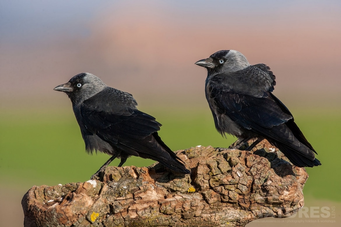A Pair Of The Jackdaws Of The Estate Perched On A Log   Photographed On The Estate Used For The NaturesLens Spanish Birds Of Toledo Photography Holiday
