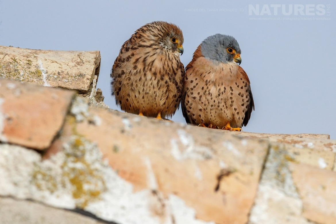A Pair Of The Lesser Kestrels Photographed On The Estate Used For The NaturesLens Spanish Birds Of Toledo Photography Holiday
