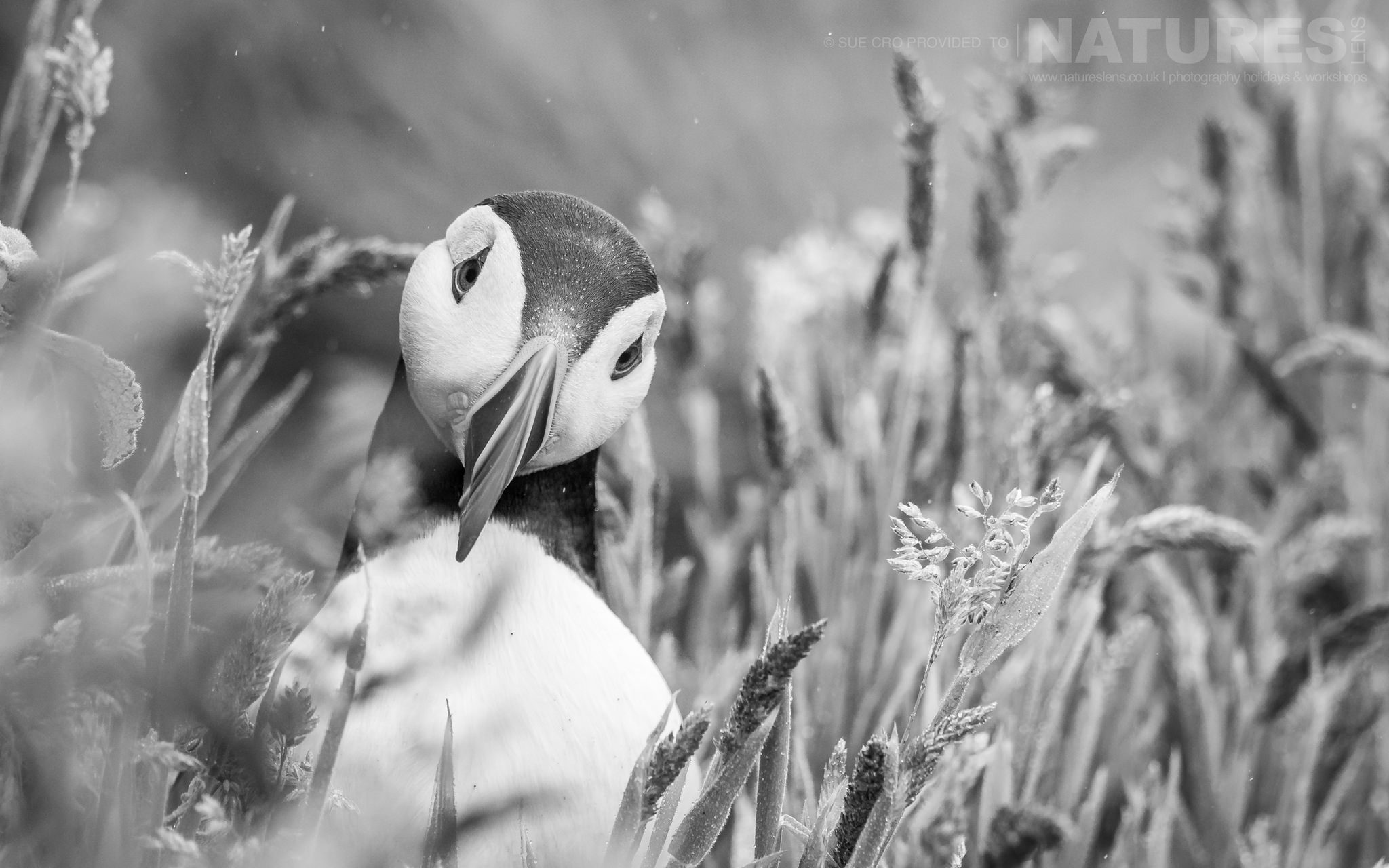 A Peeking Puffin Amongst The Long Grasses Of The Wick, This Puffin Poses For A Classic Skomer Image   Photographed During The NaturesLens Atlantic Puffins Of Skomer Photography Holiday