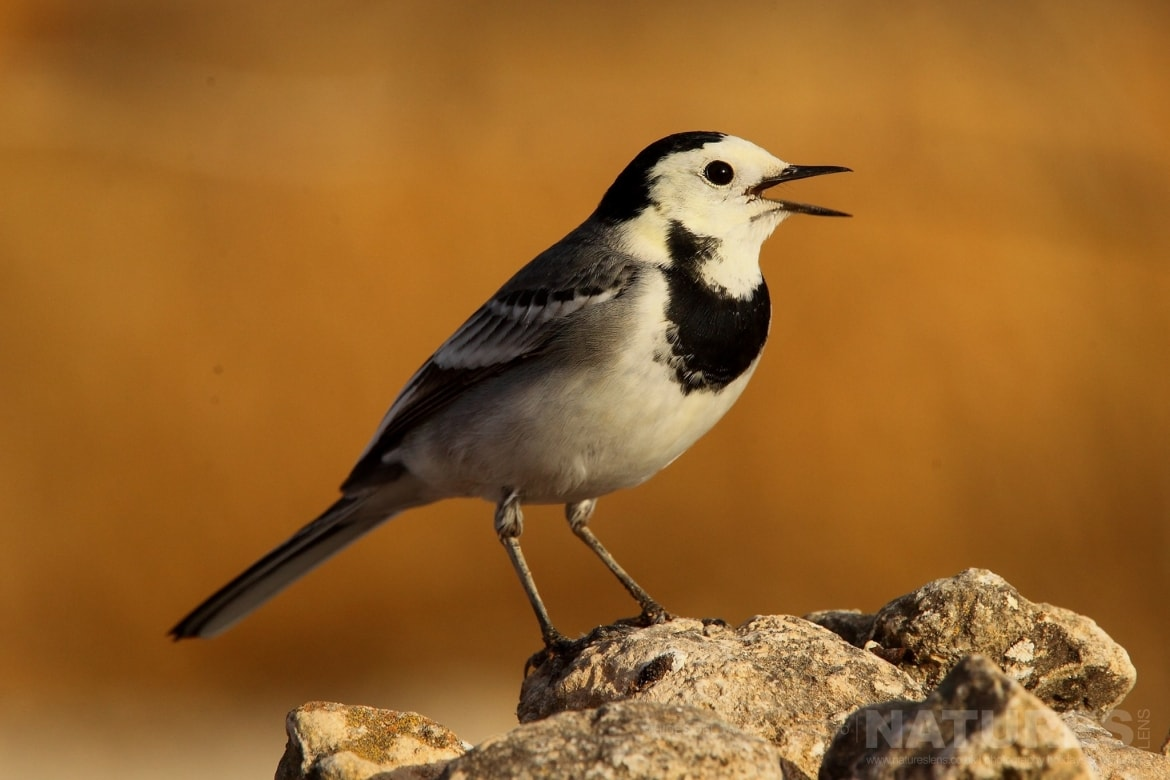 A Pied Wagtail Perched On A Rocky Outcrop Photographed On The Estate Used For The NaturesLens Spanish Birds Of Toledo Photography Holiday