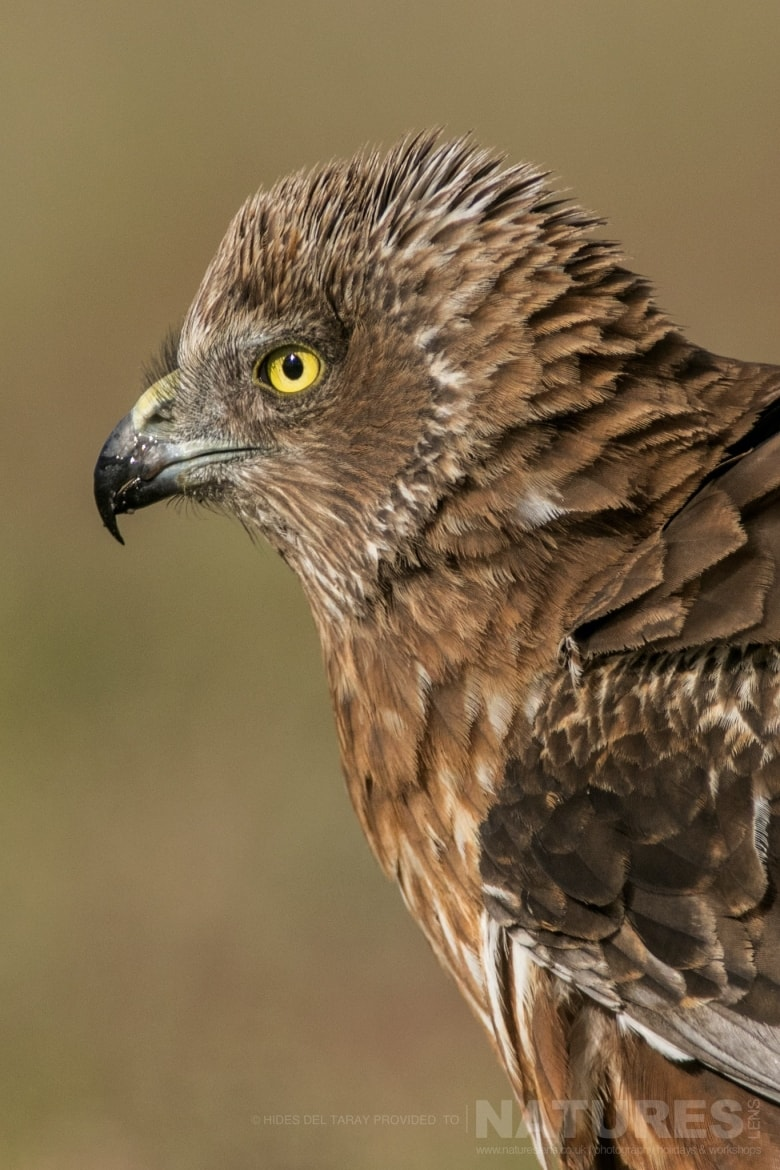 A Portrait Of A Marsh Harrier In Front Of One Of The Hides   Photographed On The Estate Used For The NaturesLens Spanish Birds Of Toledo Photography Holiday