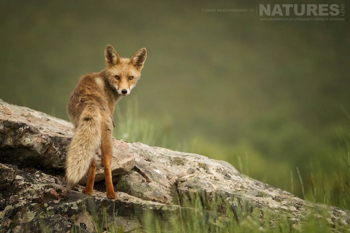 A Red Fox At The Golden Eagle Site Scavenging For Food Photographed On The Estate Used For The NaturesLens Eagles Of Extremadura Photography Holiday