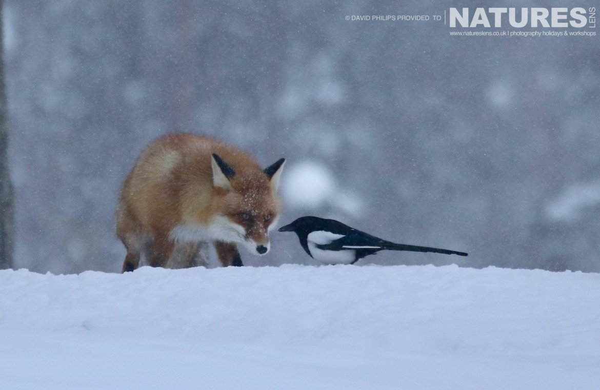 A Red Fox Encounters A Magpie Image Captured During The NaturesLens Golden Eagles Of The Swedish Winter Photography Holiday